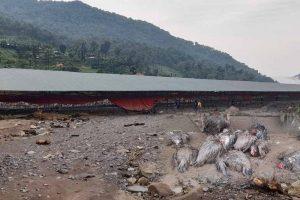 कयर खोलाको बाढीले २१ हजार कुखुरा नष्ट